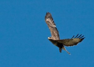 Common Buzzard (Buteo buteo) Copyright Peter Drury