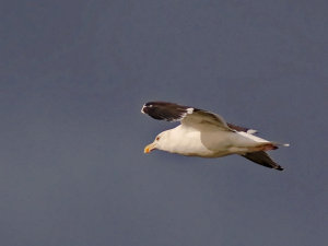 Great Black-backed Gull (Larus marinus) Copyright Peter Drury