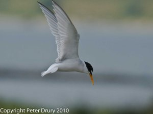 Little Tern (Sternula albifrons) Copyright Peter Drury