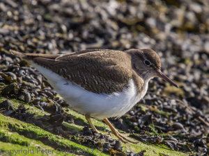 Common Sandpiper (Actitis hypoleucos) Copyright Peter Drury