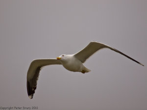Lesser Black-backed Gull (Larus fuscus) Copyright Peter Drury