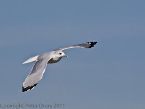 Common Gull (Larus canus) Copyright Peter Drury