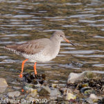 Redshank (Tringa totanus) Copyright Peter Drury