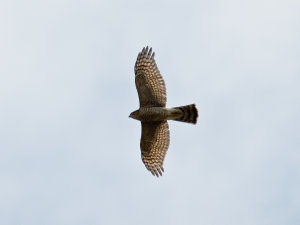 Sparrow Hawk (Accipiter nisus) Female. Copyright 2009 Peter Drury