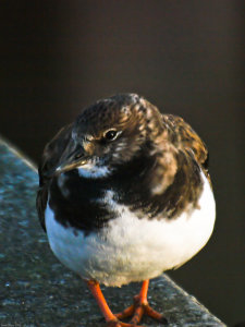 Turnstone (Arenaria interpres) Copyright Peter Drury