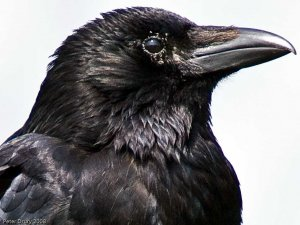 Carrion Crow (Corvus corone corone) Copyright Peter Drury