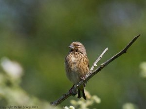 Common Linnet (Linaria cannabina) Female Copyright Peter Drury