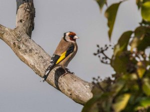 Goldfinch (Carduelis carduelis) Copyright Peter Drury