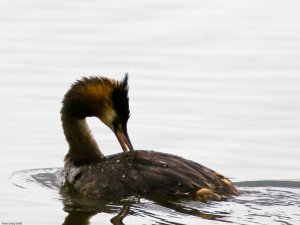 Great Crested Grebe (Podiceps cristatus) Copyright Peter Drury