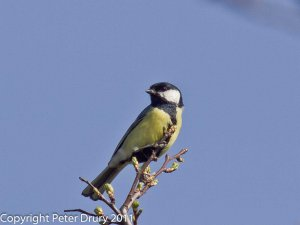 Great Tit (Parus Major) Copyright Peter Drury