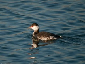 Horned Grebe (Podiceps auritus) Copyright Peter Drury
