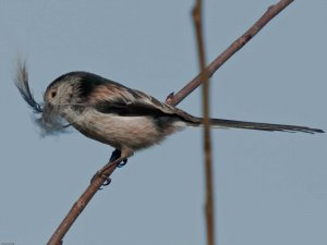 Long-tailed Tit (Aegithalos caudatus). Collecting feathers to line the nest. Copyright Peter Drury
