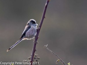Long-tailed Tit (Aegithalos caudatus). Collecting spiders webs for nest building Copyright Peter Drury