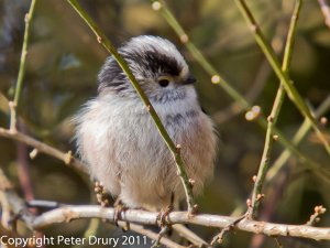 Long-tailed Tit (Aegithalos caudatus) Copyright Peter Drury