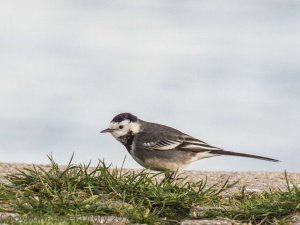 Pied Wagtail (Motacilla alba) Copyright Peter Drury