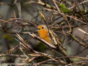 Robin-Erithacus-rubecula Copyright Peter Drury