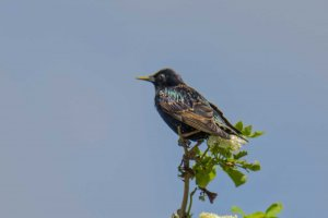 Starling (Sturnus vulgaris) Copyright Peter Drury