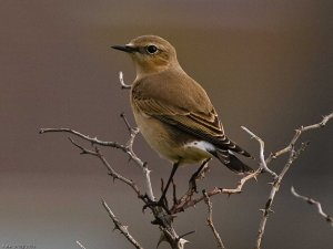 Wheatear (Oenanthe oenanthe) Copyright Peter Drury