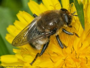 Hoverfly (Narcissus-fly-Merodon-equestris) Photo Peter Drury