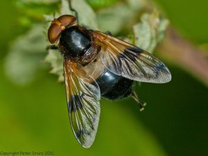 Hoverfly (Volucella-pellucens) Photo Peter Drury