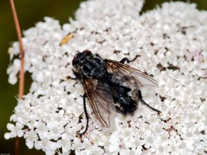 Flesh fly (Sarcophaga carnaria) Photo Peter Drury
