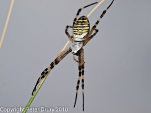 Wasp Spider (Argiope bruennichi). Photo Peter Drury