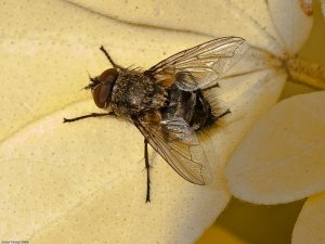 Cluster Fly (Pollenia sp) Photo Peter Drury