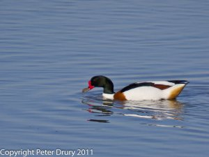 Common shelduck (Tadorna tadorna) Photo Peter Drury