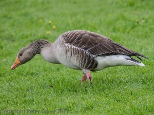 Greylag Goose (Anser anser) Photo Peter Drury