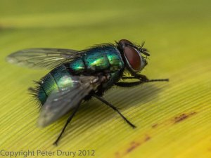 Blow Flies (Calliphoridae);