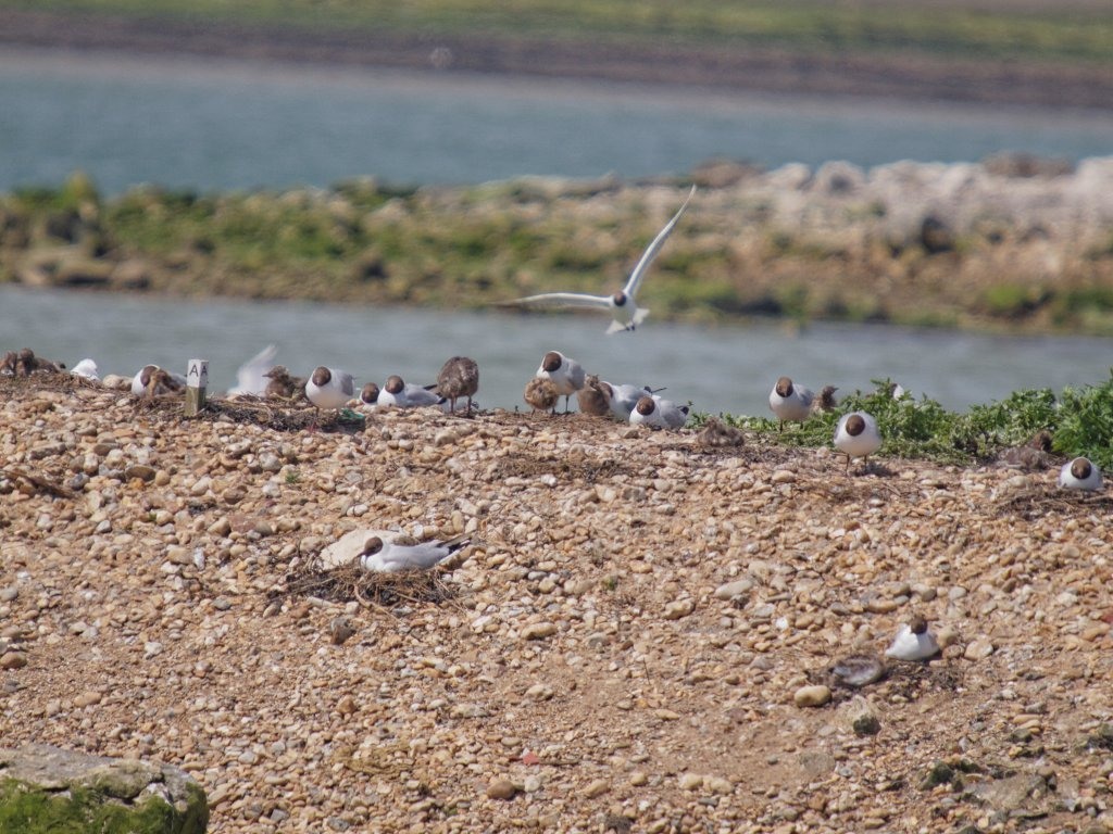 Black-headed Gull nesting sites - Peter Drury Submitted by peterd on Sun, 08/06/2014 - 05:07