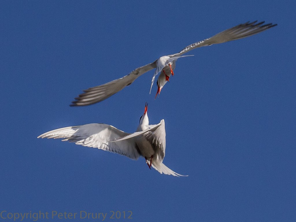 Common Tern in airborne duel - Peter Drury