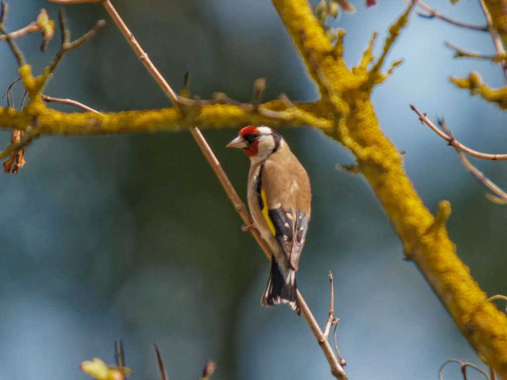 Goldfinch - Peter Drury Submitted by peterd on Sun, 08/06/2014 - 05:18