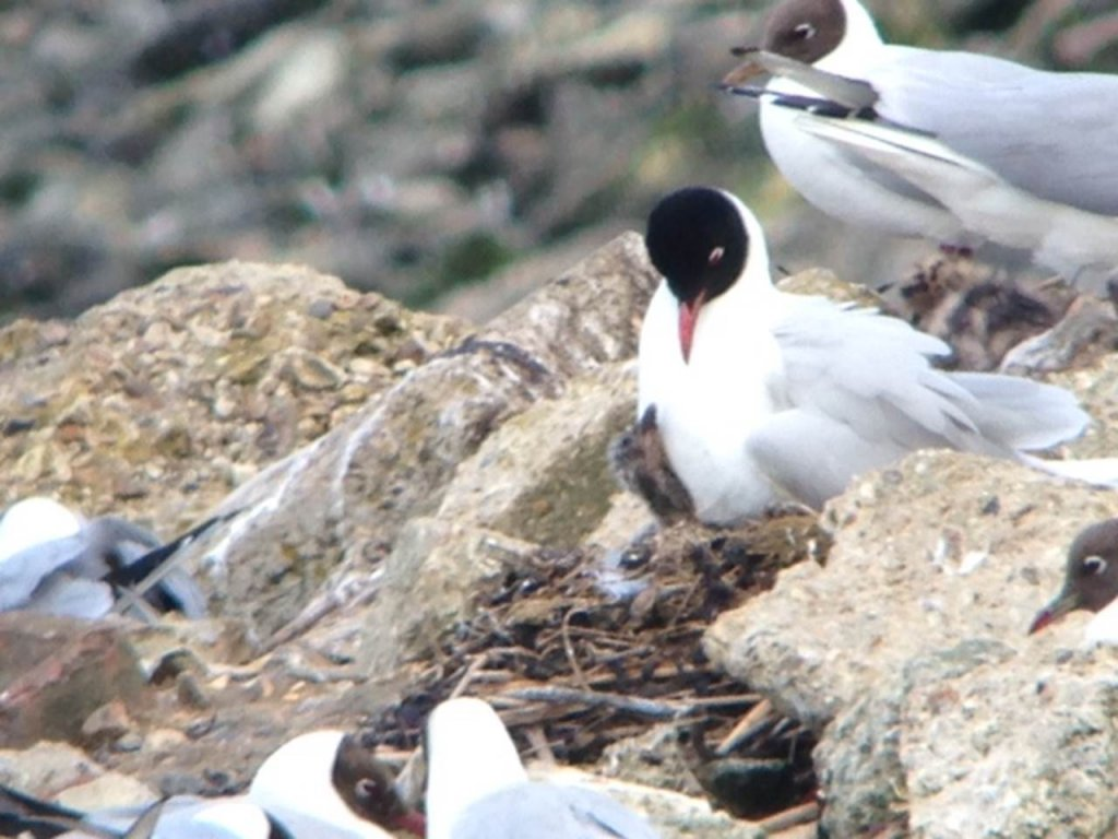 Med Gulls with chick Image Steve Cook